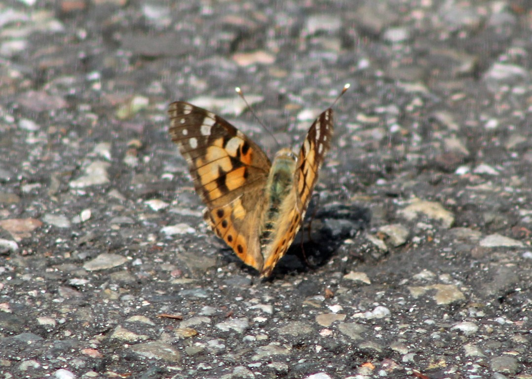 Vlinder (Middel)