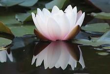 Waterlelie vijver v (Middel)