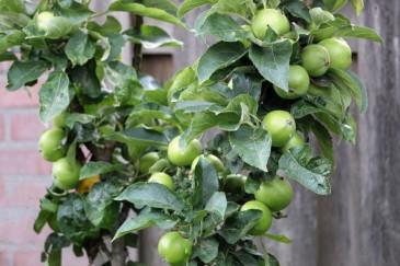 Appels (Middel)
