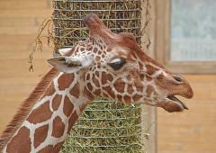 Giraf 3 (Middel)