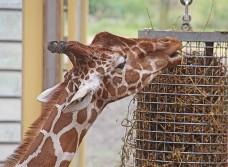 Giraffe (Middel)