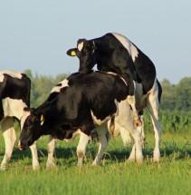 koeien (Middel)