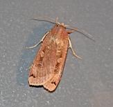 Nachtvlinder 1