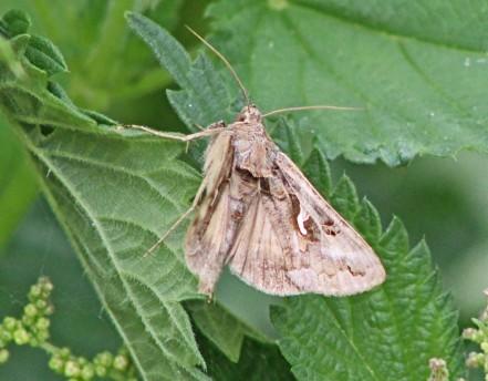 Pijlstraart vlinder 3 (Middel)