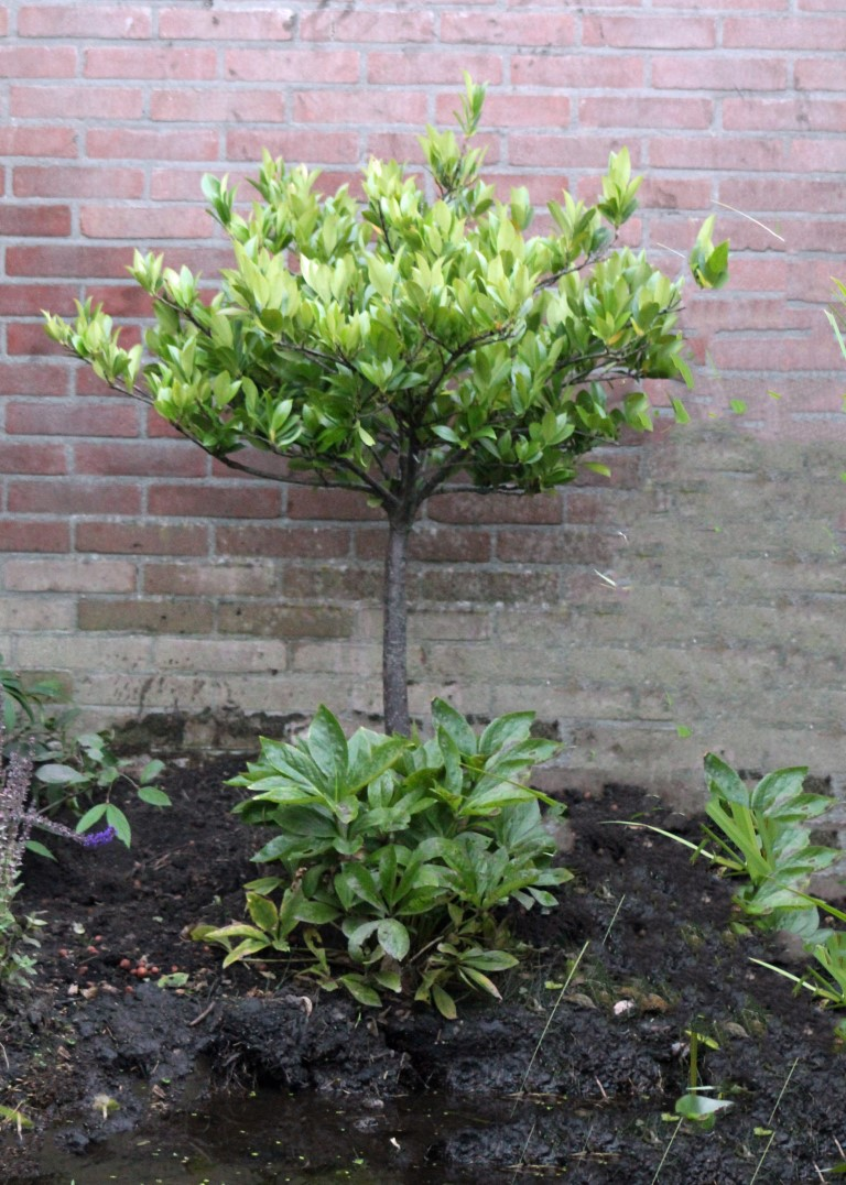 Tuin boompjes (Middel)