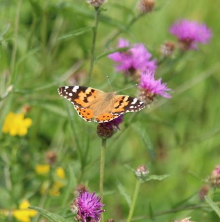 Distel vlinder (Middel)