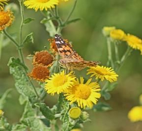 Distelvlinder op geel (Middel)