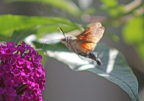 Kolibri vlinder 4 (Middel)