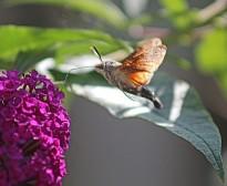 Kolibri vlinder 6 (Middel)