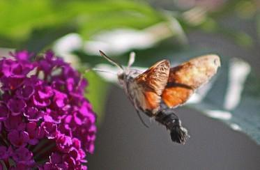 Kolibrivlinder 12 (Middel)