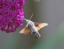 Kolibrivlinder 7 (Middel)