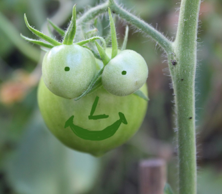 Grapje tomaat (Middel)