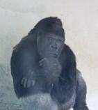 Gorilla 33 (Middel)