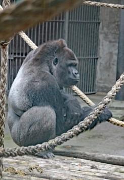 Gorilla 434 (Middel)