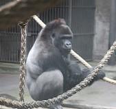 Gorillaa 3 (Middel)