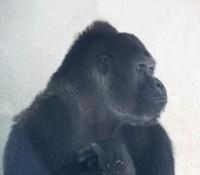 Gorillaa (Middel)