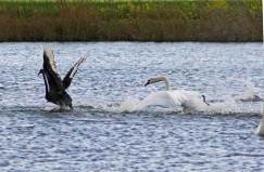 Zwarte witte zwaan 1 (Middel)