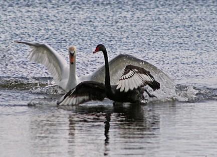 Zwarte witte zwaan 2 (Middel)