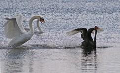 Zwarte witte zwaan 4 (Middel)