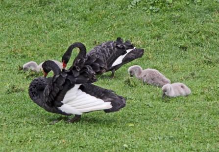 Zwarte zwaan 3 (Middel)