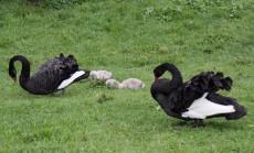 Zwarte zwaan (Middel)