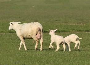 Lammetjes 3 (Middel)