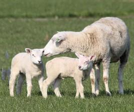 Lammetjes 4 (Middel)