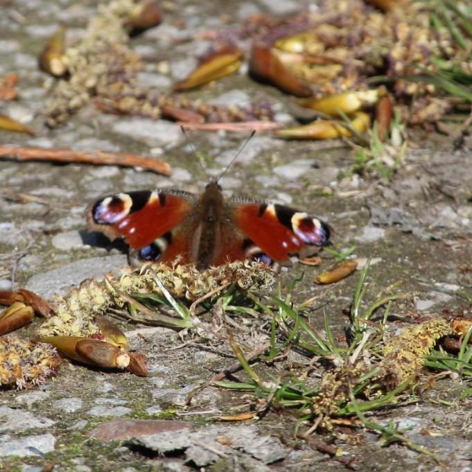 Dagpauwoog eee (Middel)