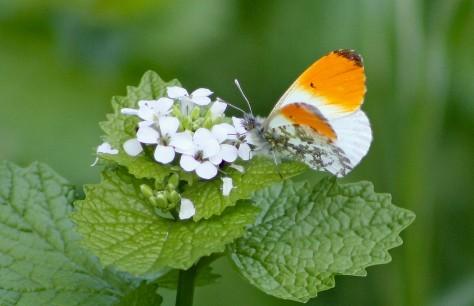 Orantjetipje (Middel)