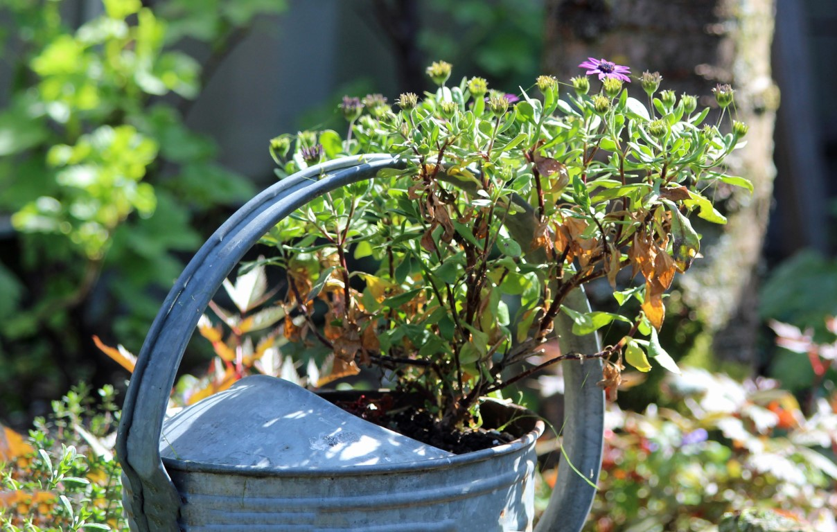 Spaanse margrieten (Middel)