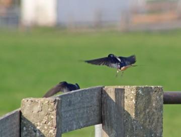 Zwaleuwelen (Middel)