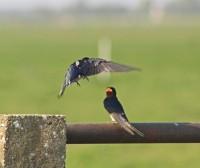 Zwaluwen (Middel)