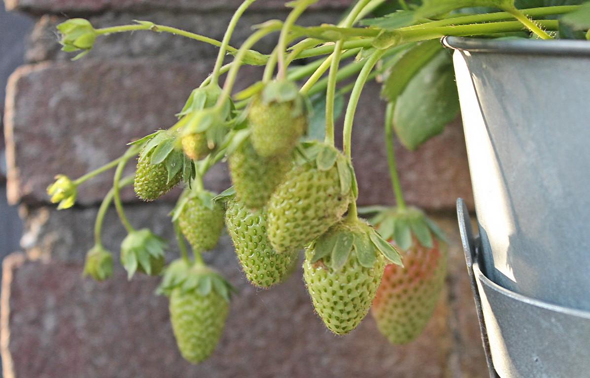 Aardbeien (Middel)