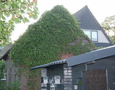 Groene muur (Middel)