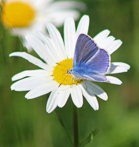 Icaursblauwtje (Middel)