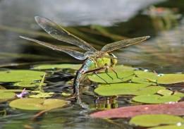 Libelle 14 (Middel)