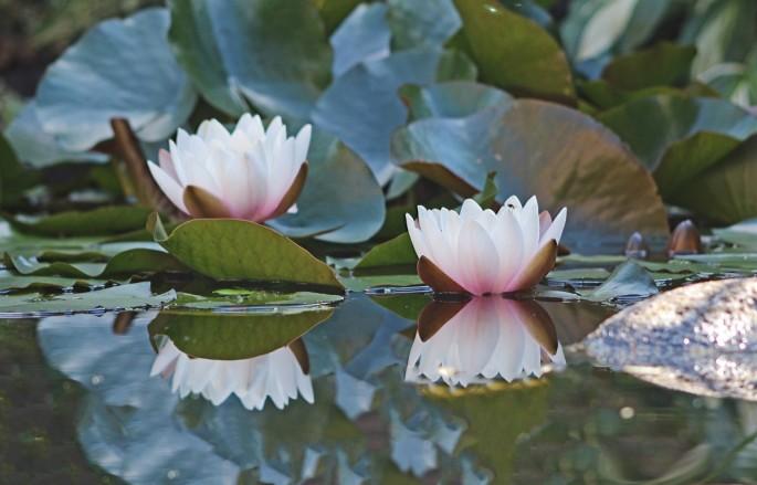 Waterlelie vijver (Middel)