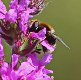 Bijene 1 (Middel)