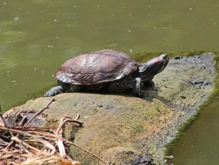 Roodwangschildpad (Middel)