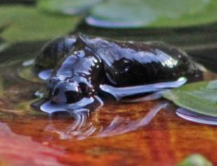 Vijver gek (Middel)