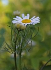 Bloemen Loet 9 (Middel)