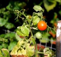 Tomaten 1 (2) (Middel)