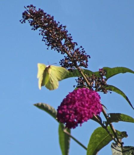 Citroenvlinder (Middel)