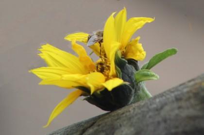 Zonnebloemeeme (Middel)